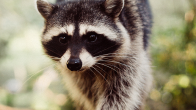 Photo of Protect Your Home From Raccoon Damage